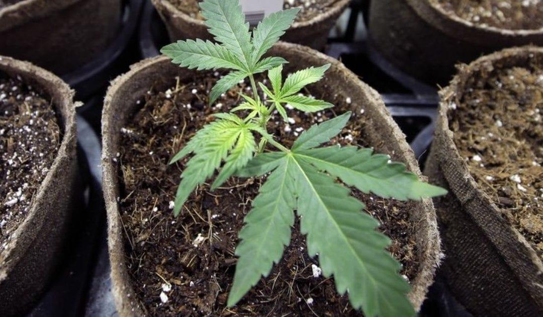 Estudian efectos de uso de marihuana durante embarazo