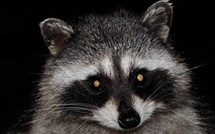 Enfermedad que torna en 'zombies' a mapaches mata a 176 de ellos